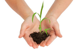 Holding a plant. Two hands are holding a young plant royalty free stock image