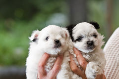 Holding puppies Royalty Free Stock Photography