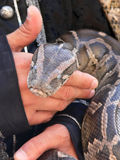 Holding a Python. A closeup view of a python in the hands of some person Royalty Free Stock Image