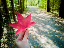 Holding a red leaf in the nature. In the autumn at the park. royalty free stock images