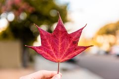 Holding Red Maple Leaf royalty free stock photos