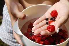 Holding red raspberries and currants in the hand. Woman hand holding white bowl with red raspberries and currants Royalty Free Stock Photography