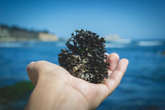 Holding a seaweed roll. Close Up of a hand holding a seaweed roll at the beach Stock Photography