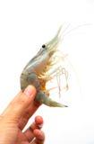 Holding shrimp. On white background Stock Images