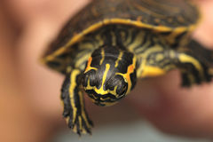 Holding a small painted turtle Stock Photos
