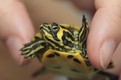 Holding a small painted turtle stock photo