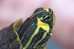Holding a small painted turtle stock image