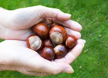 Holding some Conkers Royalty Free Stock Images