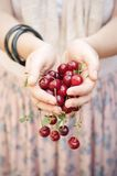 Holding sour cherries Stock Photography