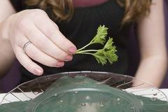 Holding a spring of Parsley Stock Images