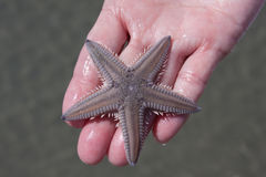 Holding A Starfish Stock Photo