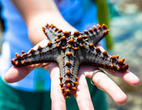 Holding a starfish Stock Images