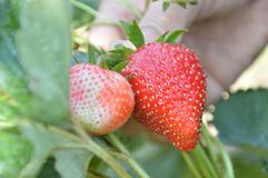 Hold strawberry in hand and harvest in organic farm stock image