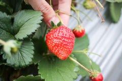 Holding strawberry background Stock Image