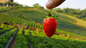 Holding strawberry with finger. Holding strawberry with two finger stock images
