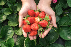 Holding a strawberry Royalty Free Stock Photo