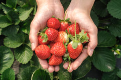 Holding a strawberry. In the strawberry leaves on the green Stock Photography