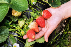Holding a strawberry Stock Images