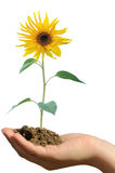 Holding the sunflower Stock Photography