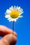 Holding tiny daisy Stock Image