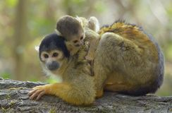 Holding on to my mother. Mother and baby squirrel monkey royalty free stock images