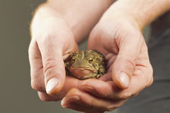 Holding Toad Royalty Free Stock Images