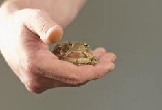 Holding Toad Stock Photography