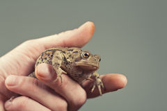 Holding Toad Stock Photo