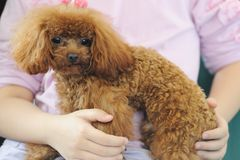 Holding toy poodle dog in arms Stock Photos