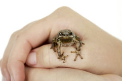 Holding Tree Frog Stock Photo