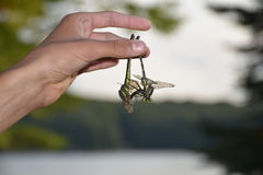 Holding two Dragonflies upside down. The photo shows a hand of a teenage boy holding two dragonflies upside down.  One of the dragon flies is alive and is itself Royalty Free Stock Photo