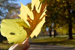 Holding up yellow leaves stock photography