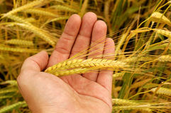 Holding wheat Royalty Free Stock Image