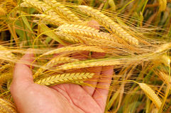 Holding wheat Royalty Free Stock Photos