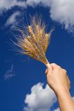 Holding wheat against blue sky. Woman hand holding wheat spikes against blue sky stock images