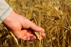 Holding wheat in field Royalty Free Stock Image