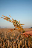 Holding Wheat. Male hand holds handful of wheat plant Stock Images