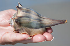 Holding A Whelk Stock Images