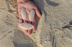 Holding white big shells in handing in Aruba Royalty Free Stock Image
