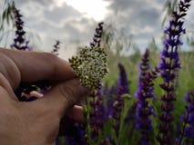 Holding white flower in purple flower field Royalty Free Stock Photo