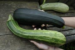 Holding-Zucchini Stockfotos