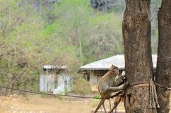 Holdinglebensmittel des Affen und Klettern der Bäume Lizenzfreie Stockfotografie