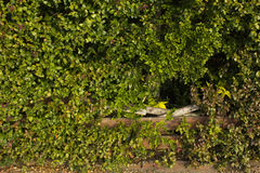 Hole in the hedge. Stock Photography
