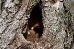 Hole in the old putrefied willow. Tree Stock Images