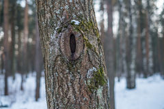 Hole in a pine tree. A small hole in a pine tree Stock Photography