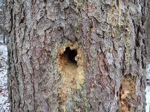 Hole in tree trunk. Hole in spruce tribe, Deep pileated woodpecker hole in a spruce tree stock images