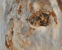 The Hole in the Tree. Baby squirrels with there head out the hole in the tree Royalty Free Stock Image