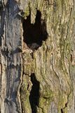 Hole in a tree Royalty Free Stock Image