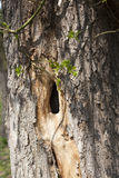Hole on a tree. In wood Royalty Free Stock Images