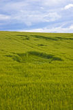 Hole in wheat field Royalty Free Stock Photography